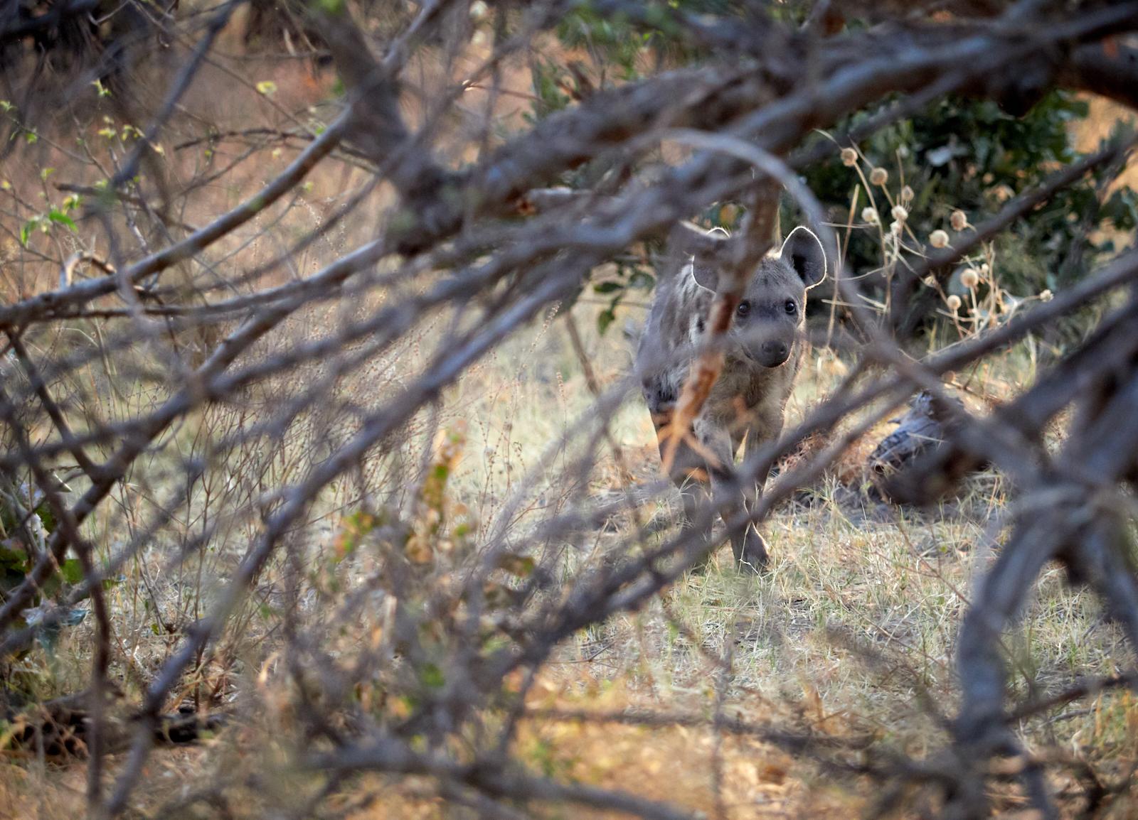 Lurking hyena