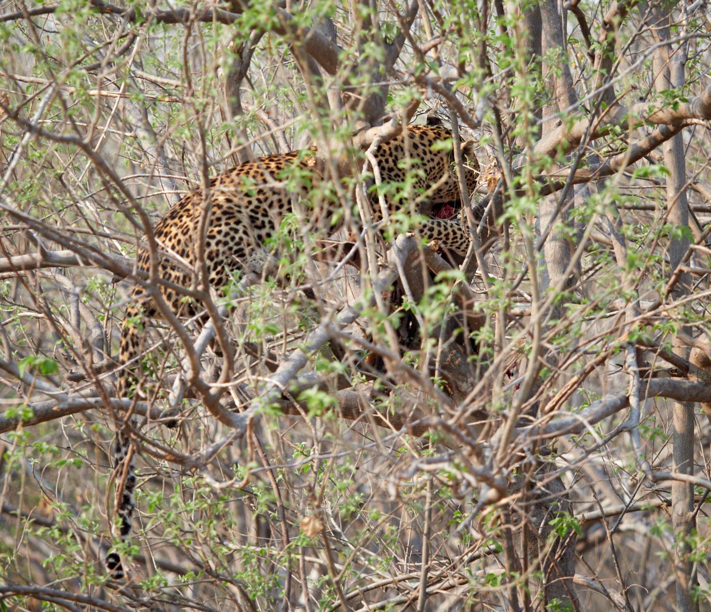 Treed leopard