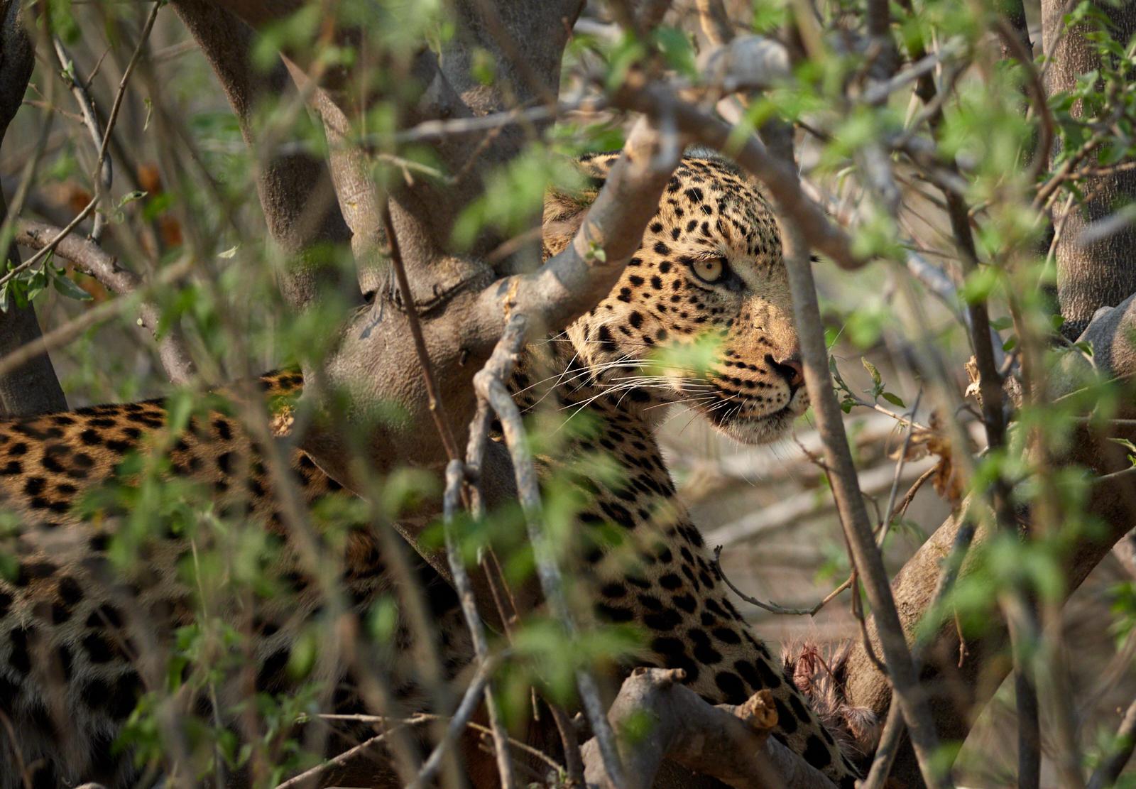 Treed leopard 1600x1200 sRGB 1.jpg