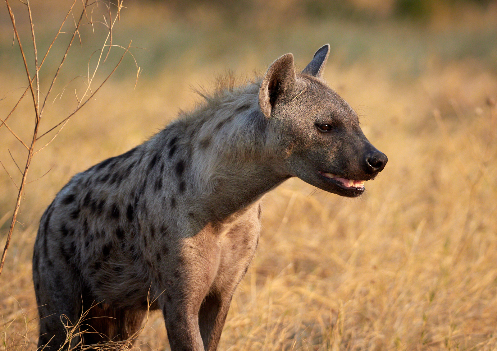 Hyena 1600x1200 sRGB.jpg