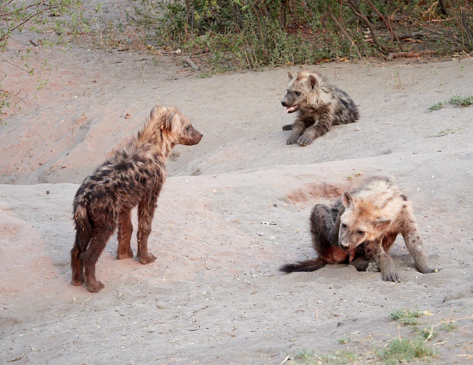 Hyena babies 1600x1200 sRGB.jpg
