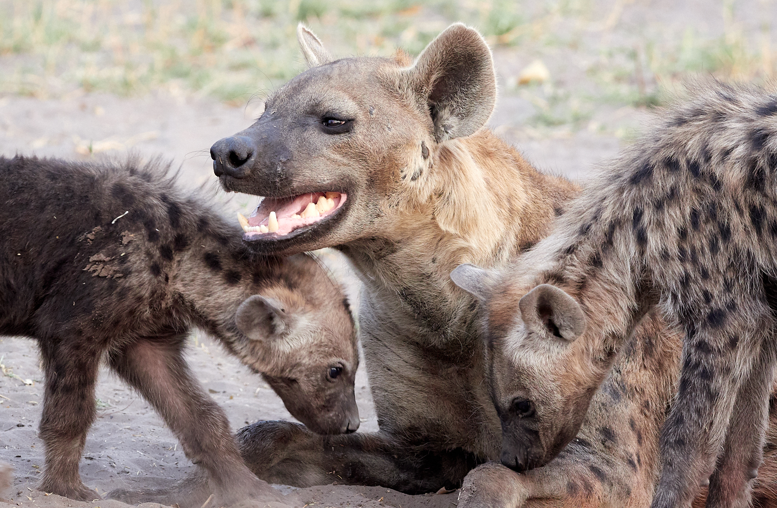 Mother and Hyena cubs 2 1600x1200 sRGB.jpg