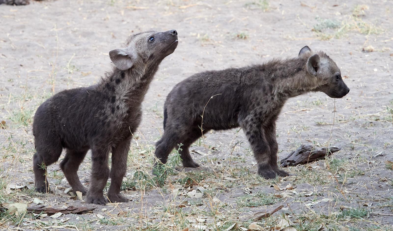 Young hyenas 1600x1200 sRGB.jpg