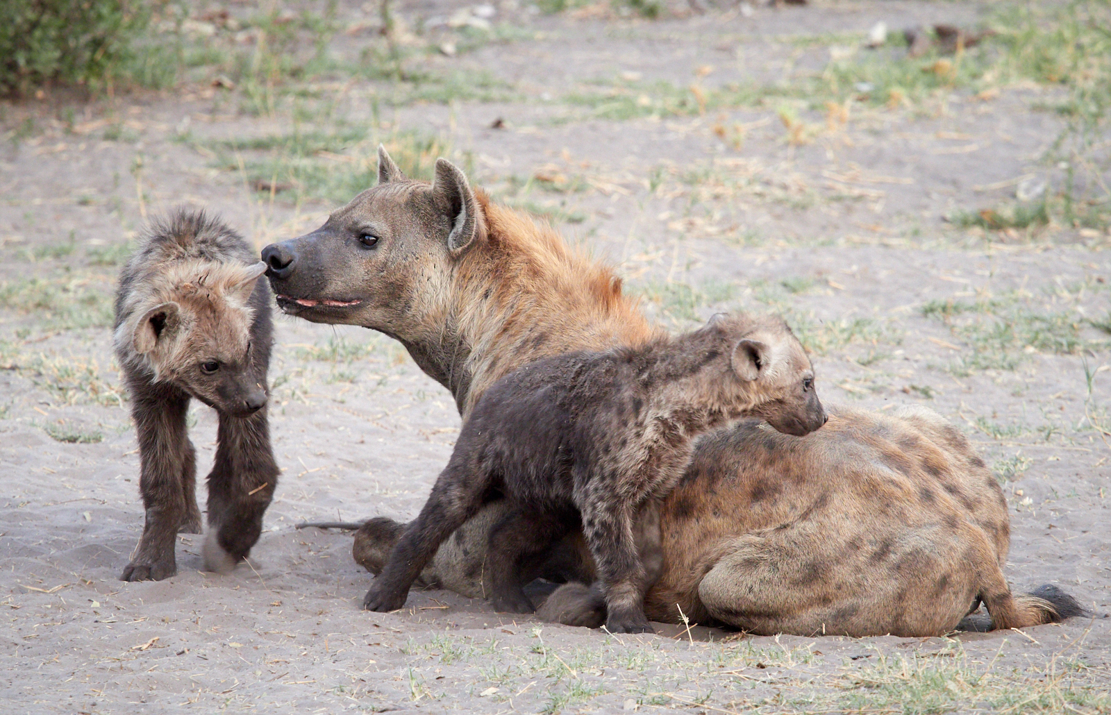 Young hyenas with mother 1600x1200 sRGB.jpg