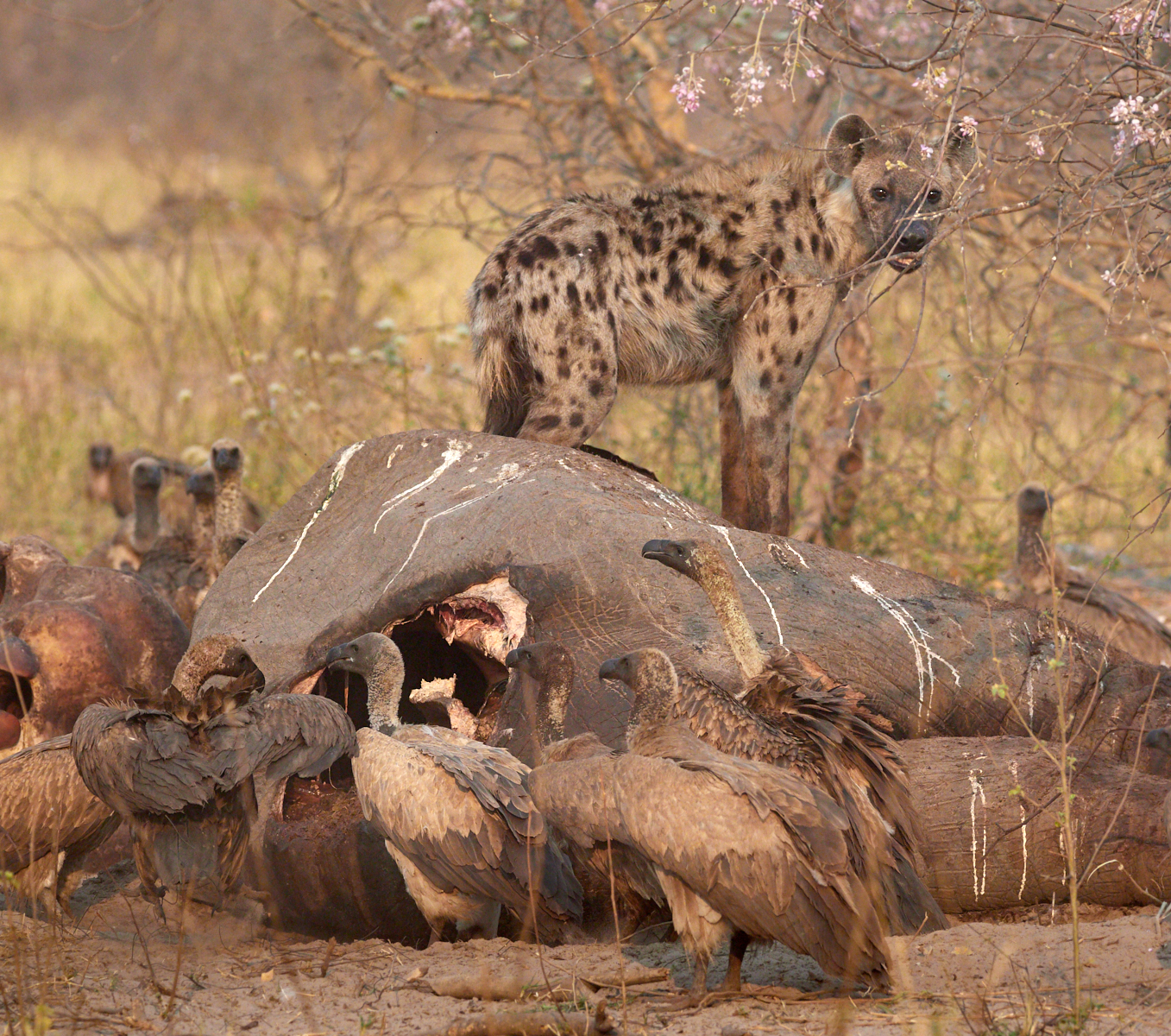 Spotted hyena on elephant killed 4 days before by lions of the Northern Pride, Savute