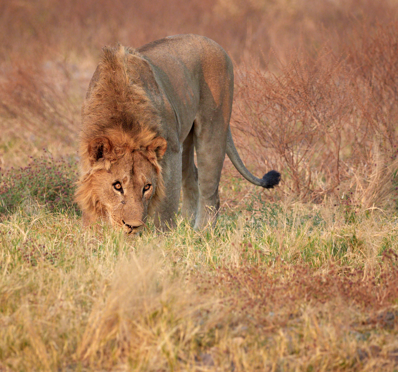 Male lion searching for his pride 2 1600x1200 sRGB.jpg