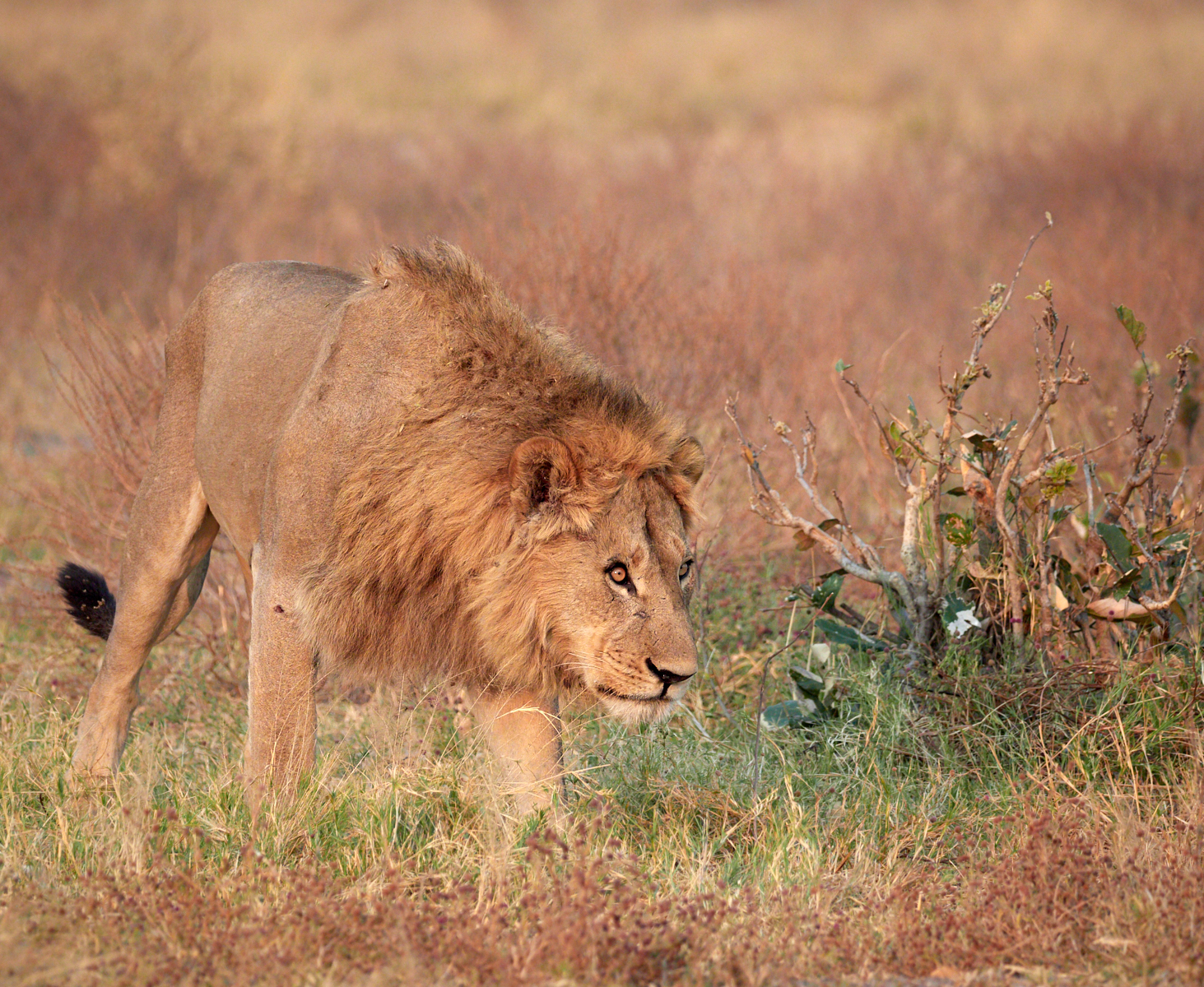 Male lion searching for his pride 1600x1200 sRGB.jpg