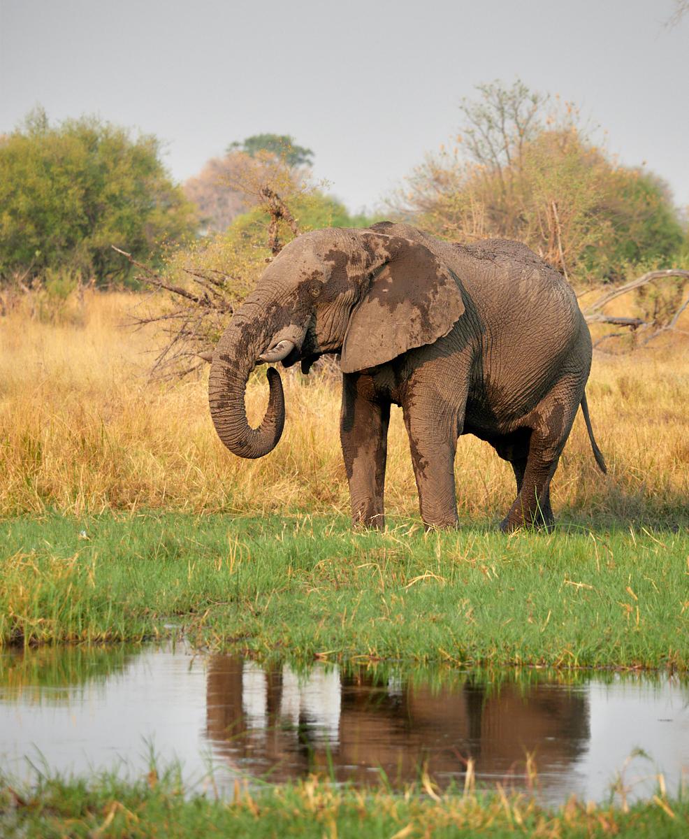 Bull elephant reflection 1600x1200 sRGB.jpg