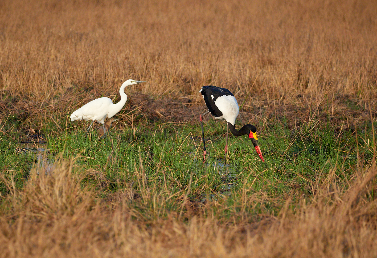 Egret and Saddle-billed stork 1600x1200 sRGB.jpg