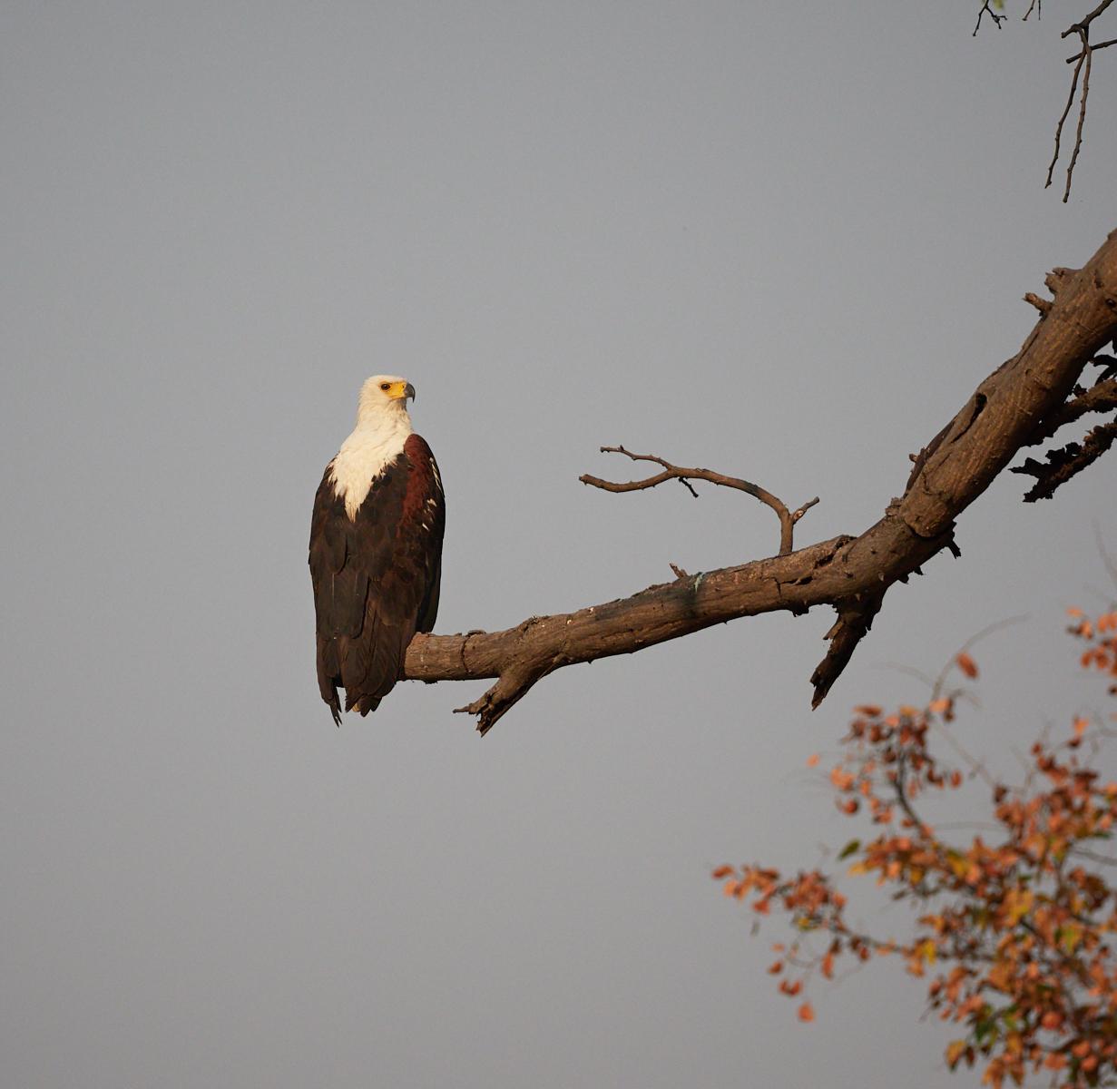 Fish Eagle 1600x1200 sRGB.jpg