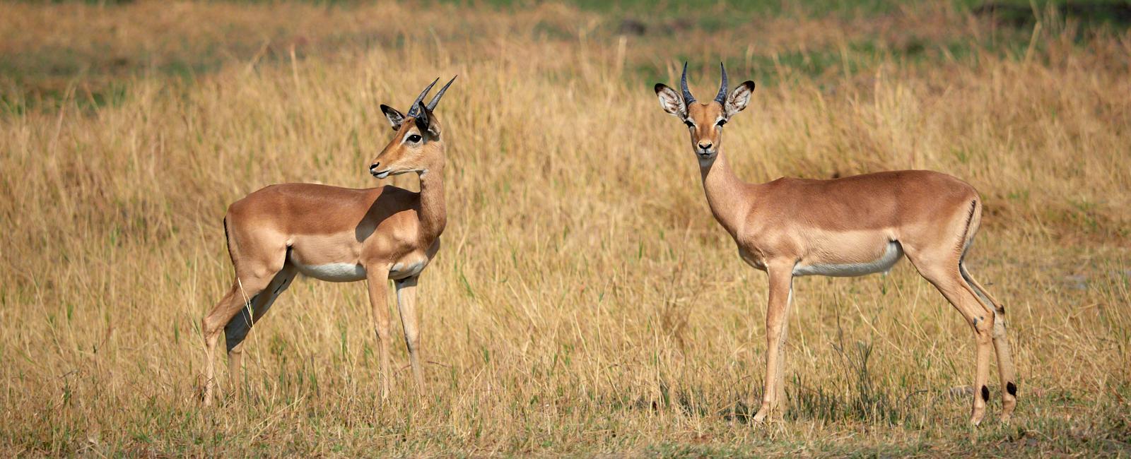Impala 1600x1200 sRGB.jpg