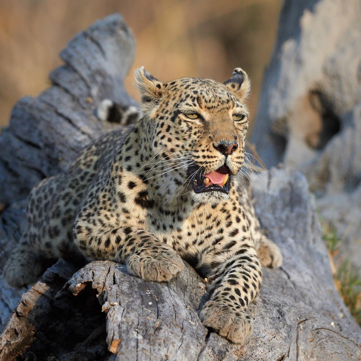 Leopardess on the log 1600x1200 sRGB.jpg