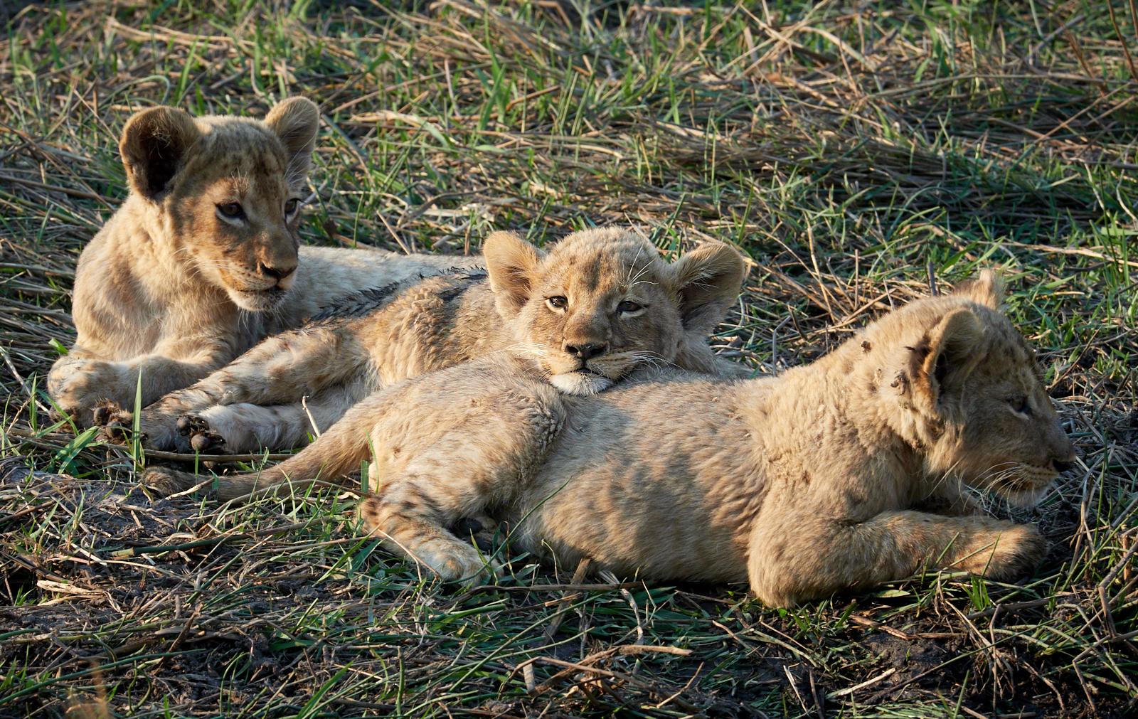 Lion cubs playing 1600x1200 sRGB.jpg