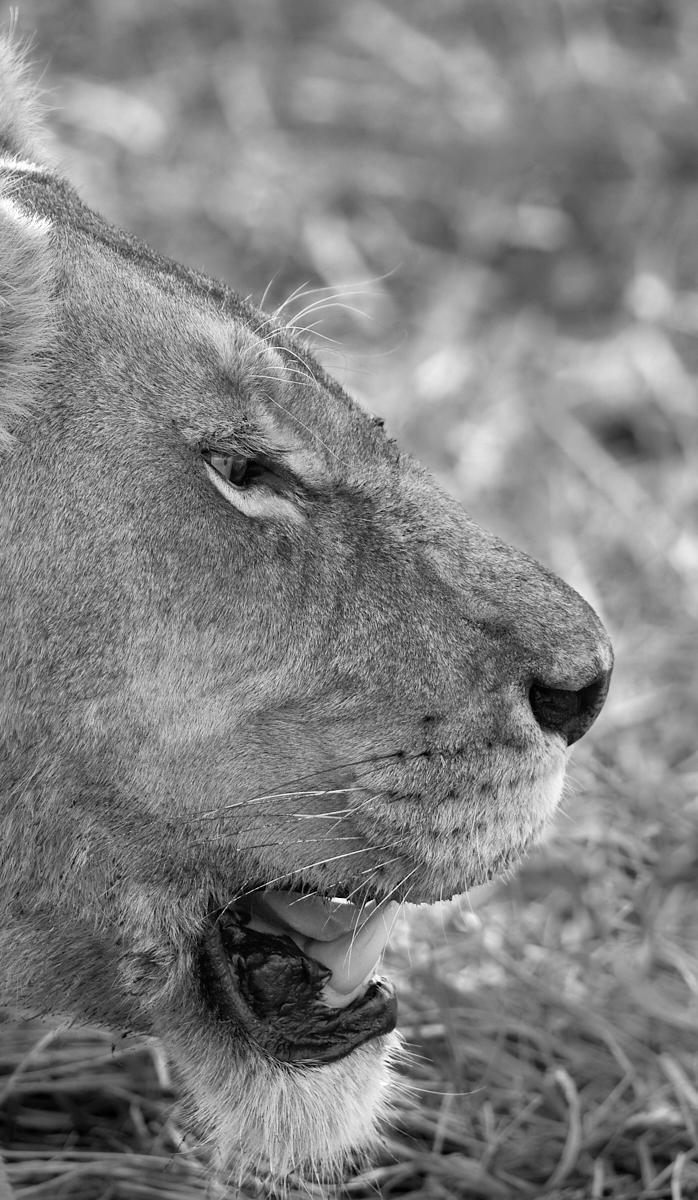 Lioness profile 1600x1200 sRGB.jpg