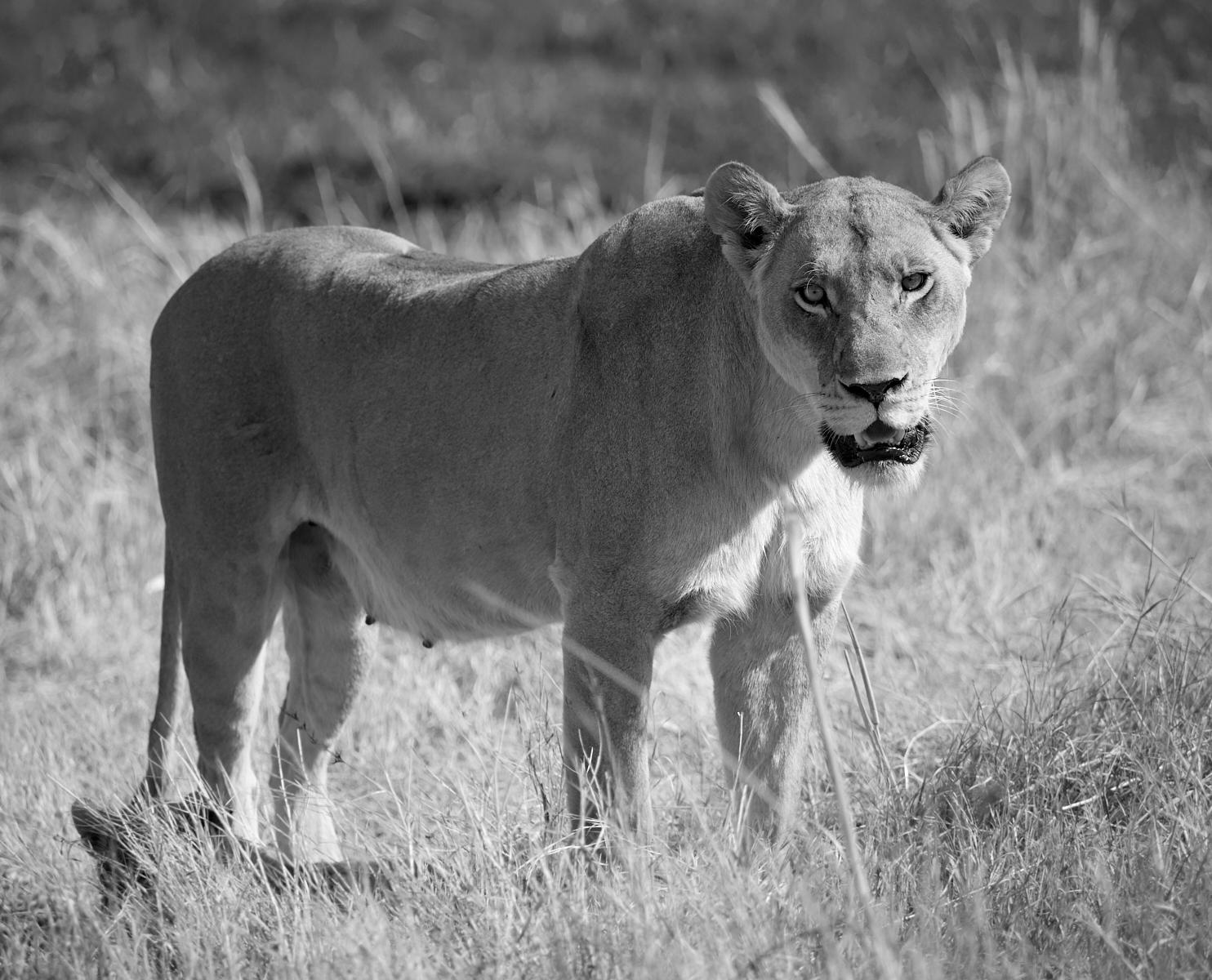 Moremi lioness 1600x1200 sRGB.jpg