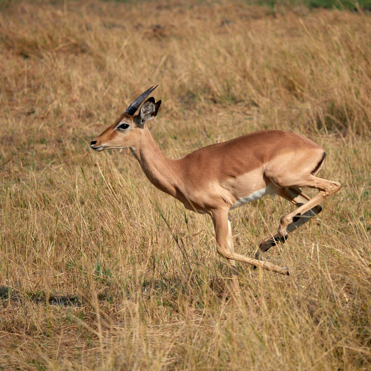 Running Impala 1600x1200 sRGB.jpg
