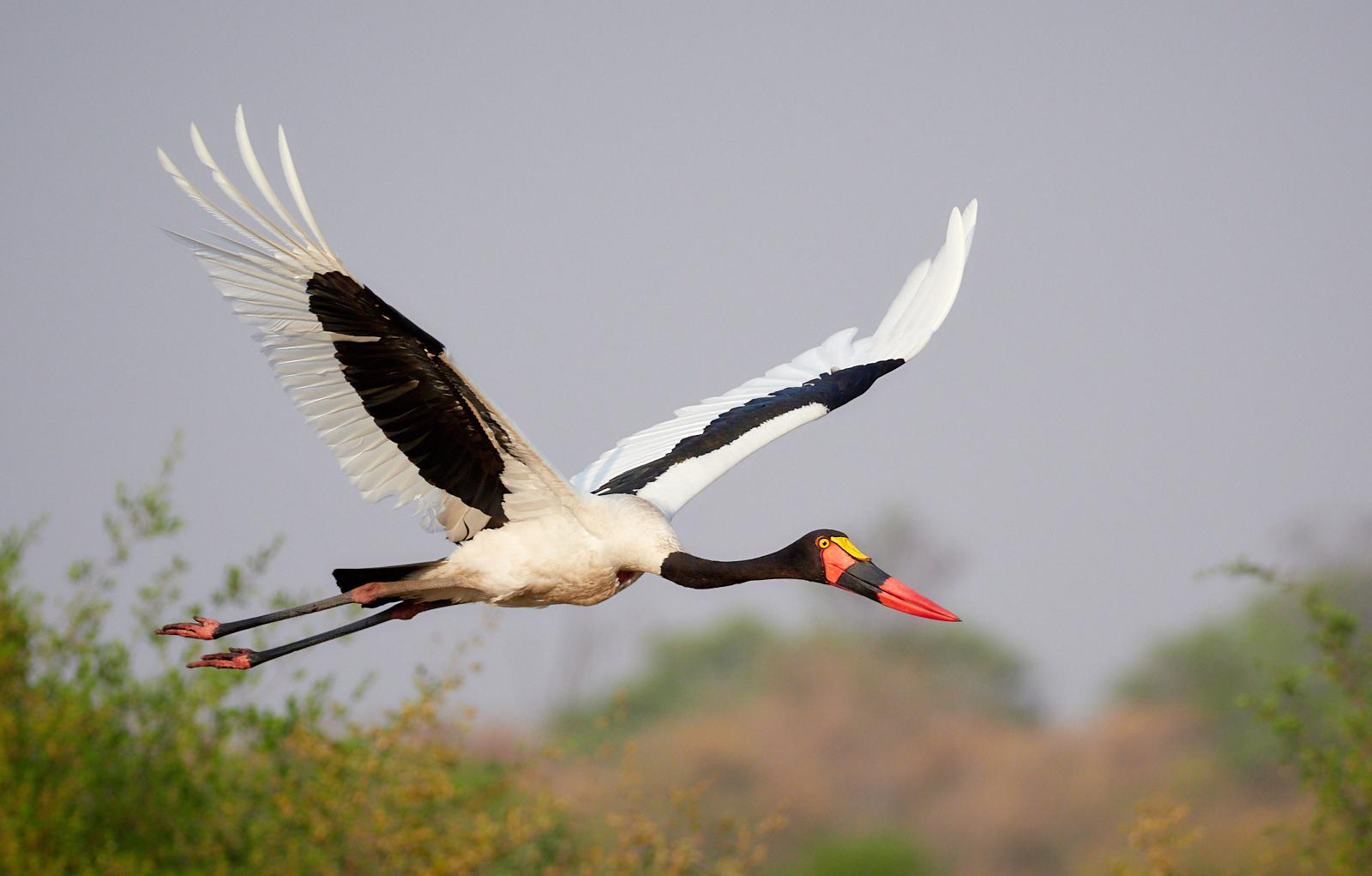 Saddle-billed stork 1600x1200 sRGB.jpg