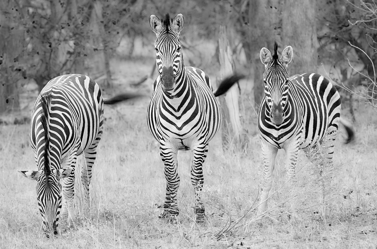 Zebra tails1600x1200 sRGB.jpg