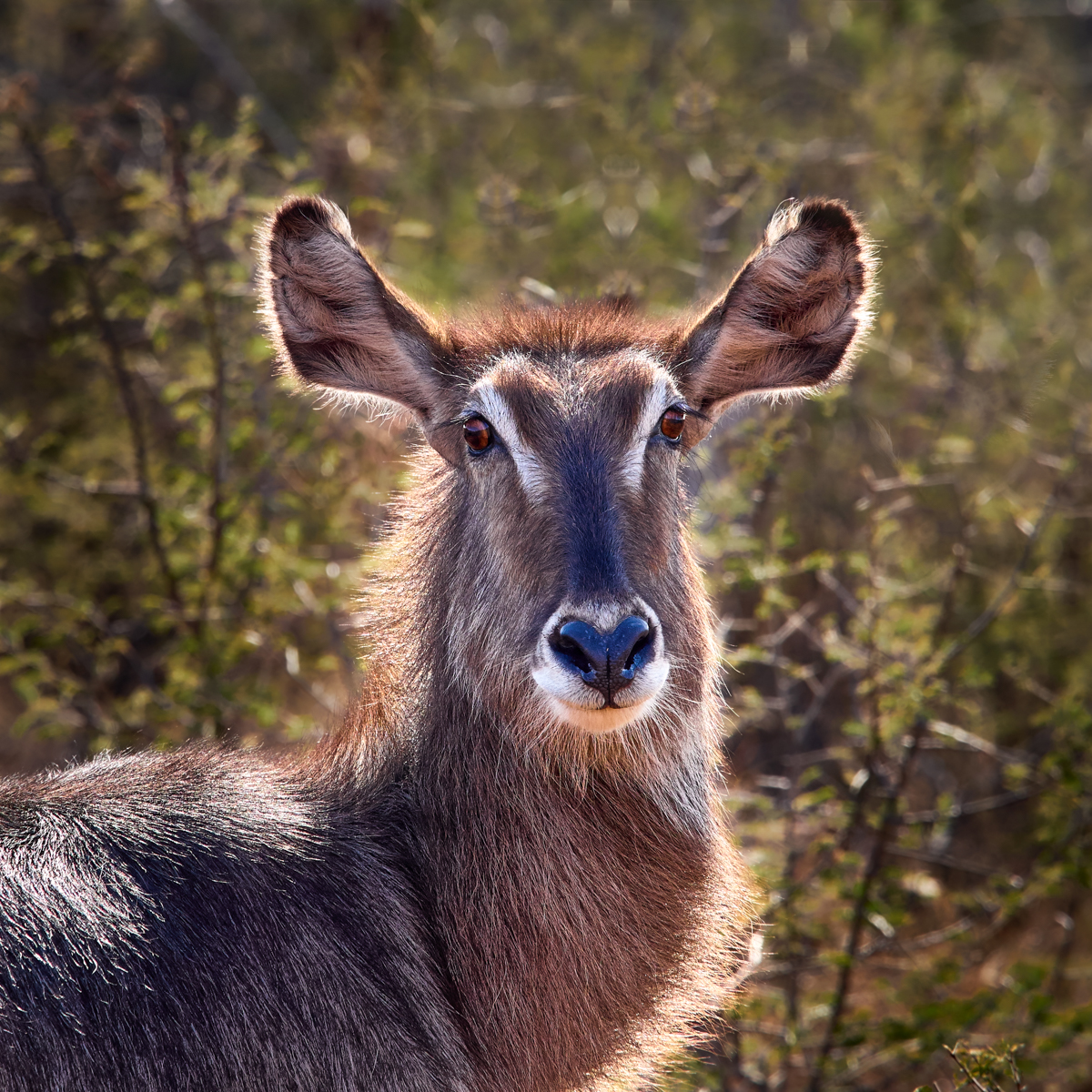 Waterbuck portrait, Madikwe wildlife reserve