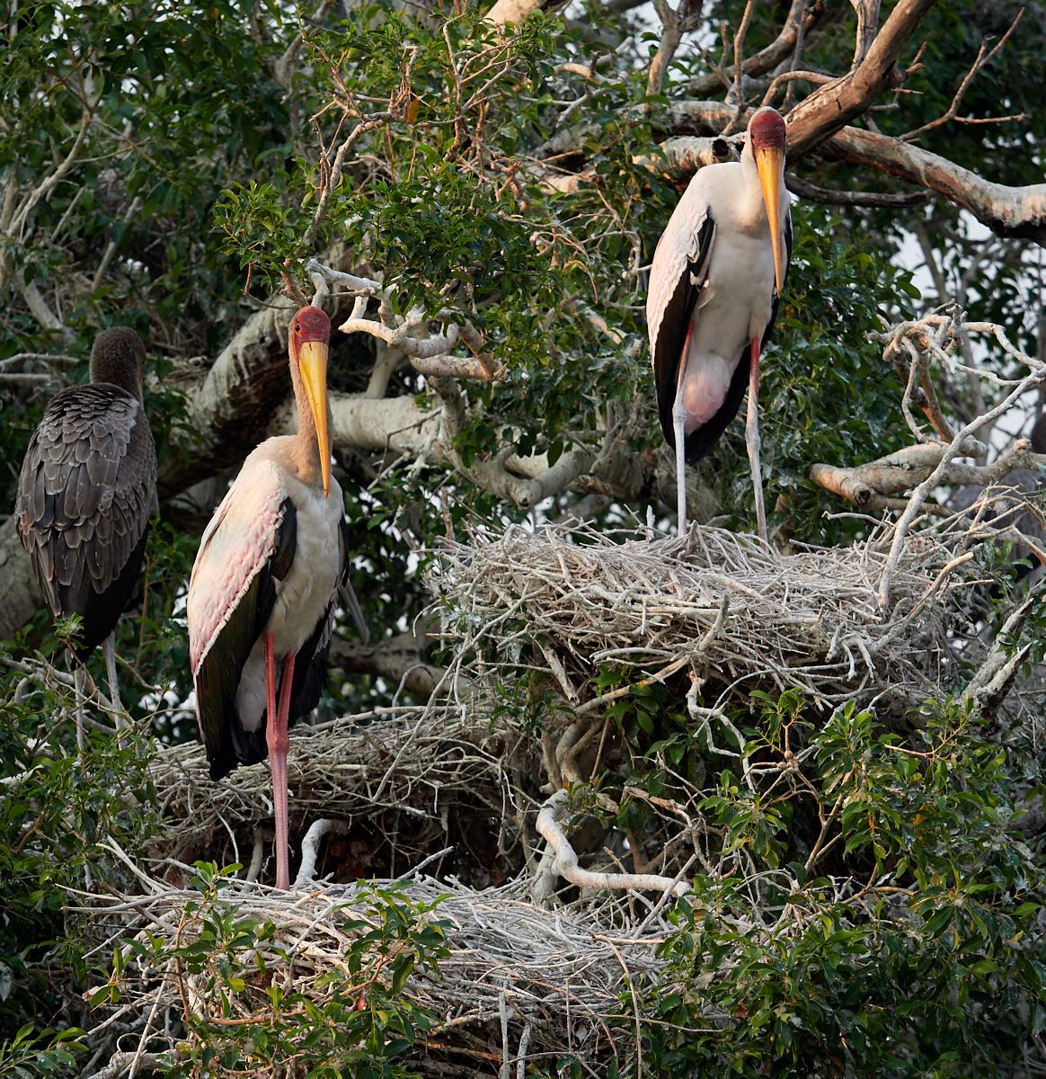 Yellow billed storks on nests 1600x1200 sRGB.jpg