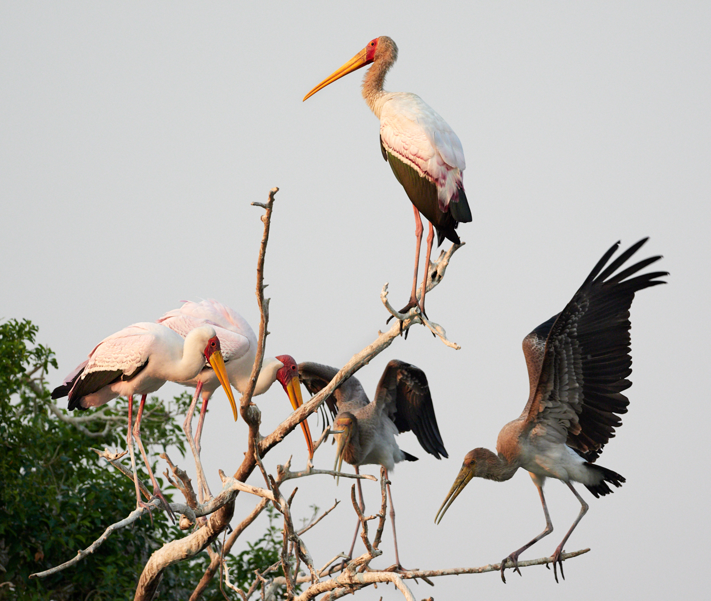 Yellow billed stork roost 1600x1200 sRGB.jpg