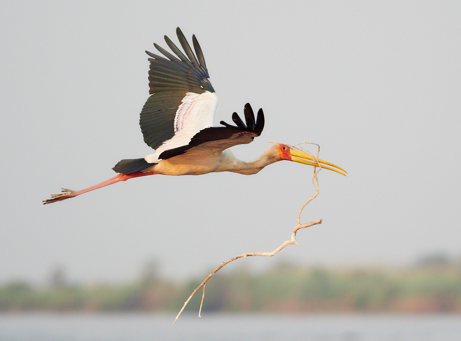 Yellow billed stork with nesting material 1600x1200 sRGB.jpg