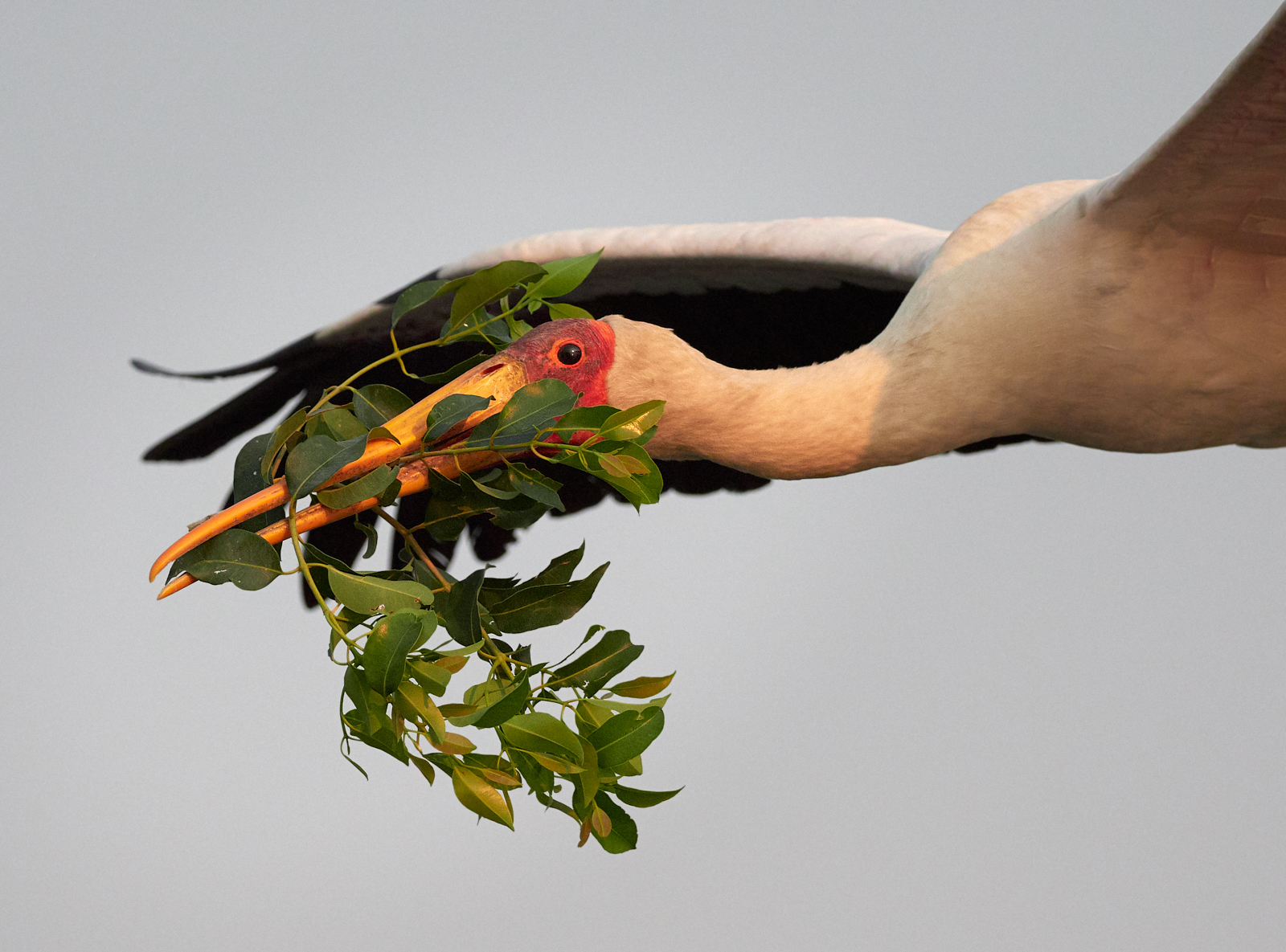 Yellow billed stork with leafy branch 1600x1200 sRGB.jpg