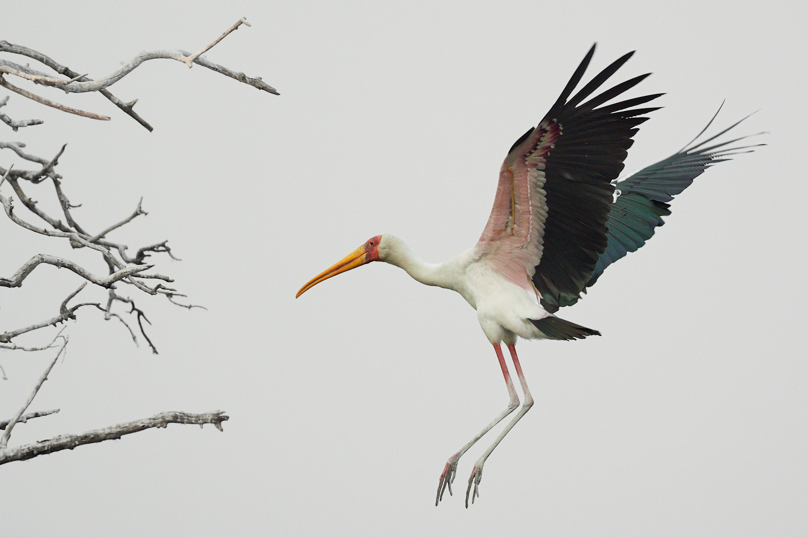 Yellow billed stork landing 1600x1200 sRGB.jpg