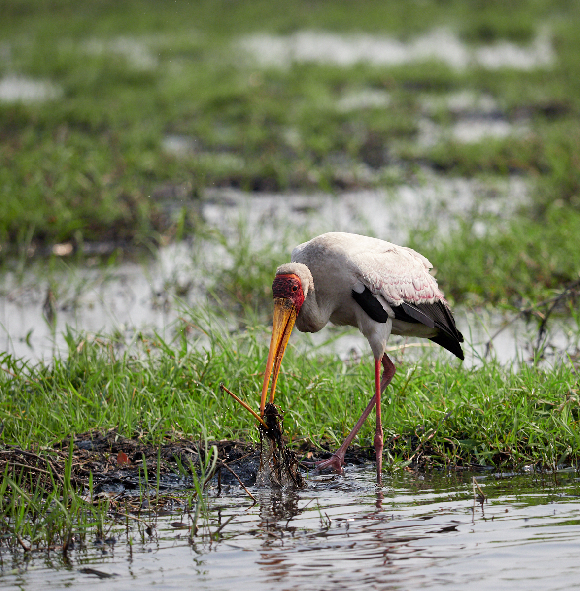 Yellow-billed stork fishing 1600x1200 sRGB.jpg