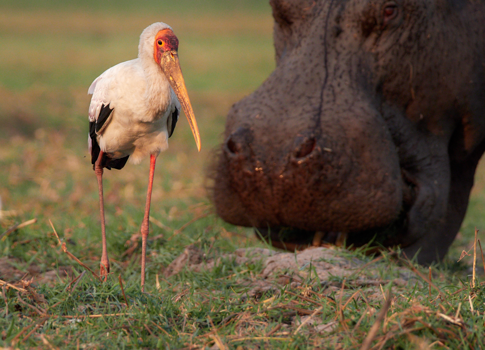 Yellow-billed stork and hippo1600x1200 sRGB.jpg