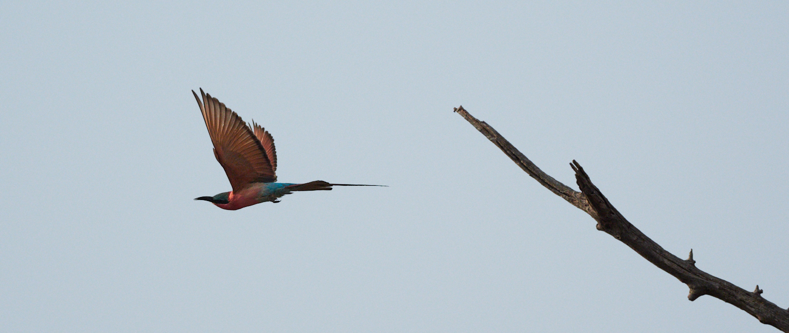 Carmine bee-eater takeoff 1600x1200 sRGB.jpg