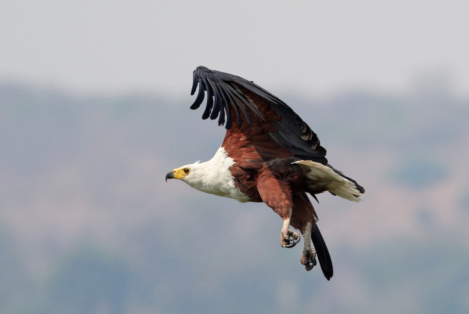 Fish Eagle 1600x1200 sRGB.jpg