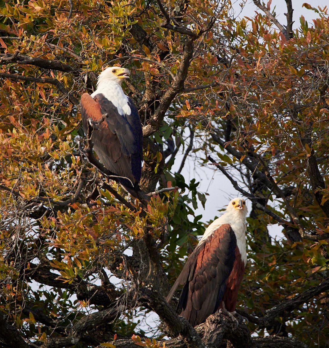 Fish Eagles 1600x1200 sRGB.jpg