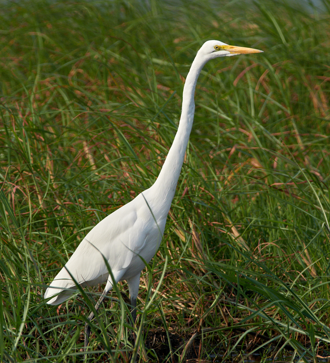 Great White Egret 1600x1200 sRGB.jpg
