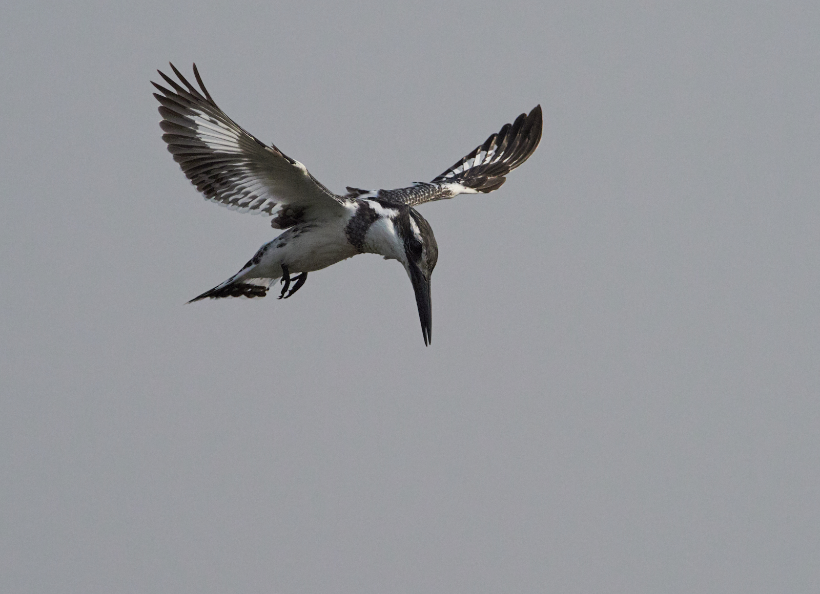 Hovering Pied Kingfisher 1600x1200 sRGB.jpg