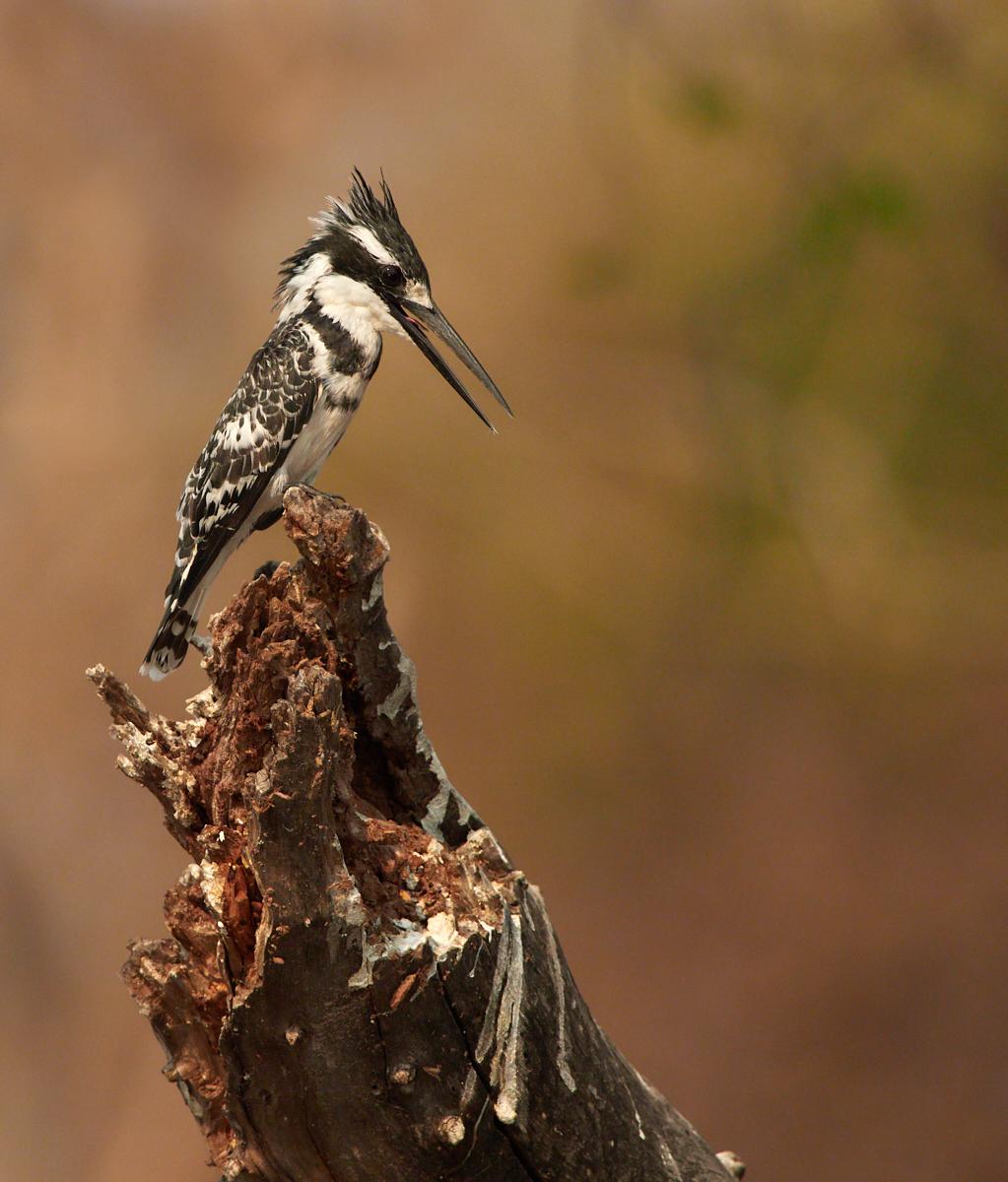 Pied kingfisher 1600x1200 sRGB.jpg