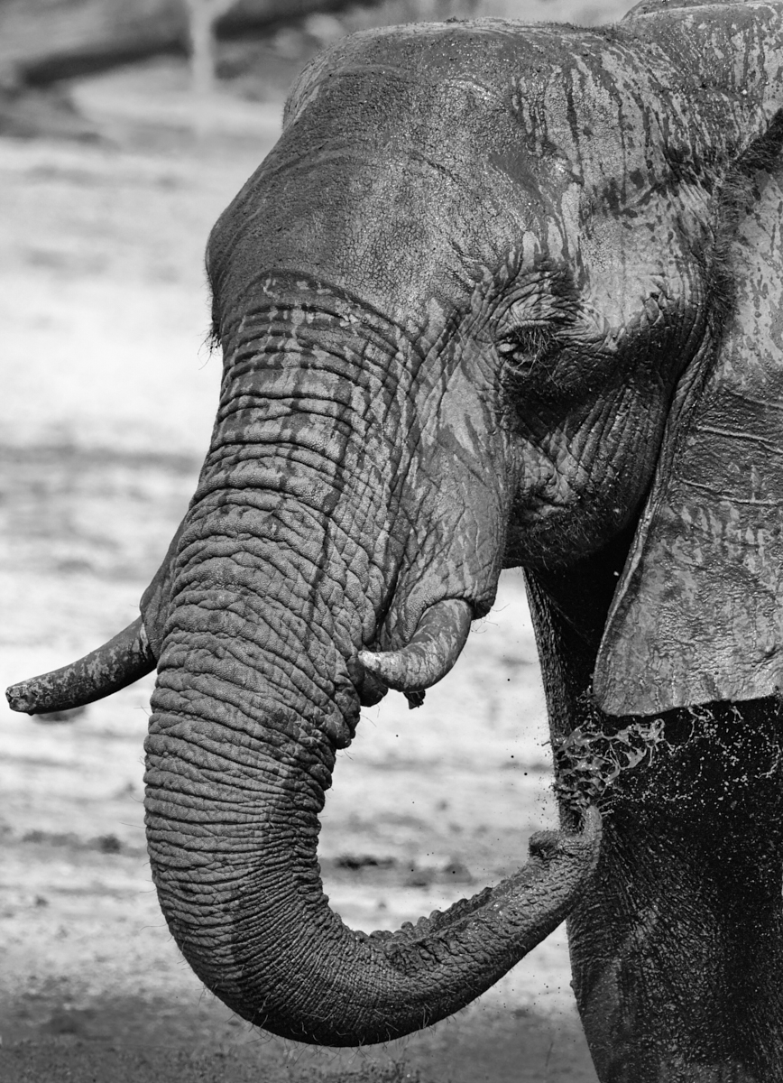 Elephant mudbath 1600x1200 sRGB.jpg