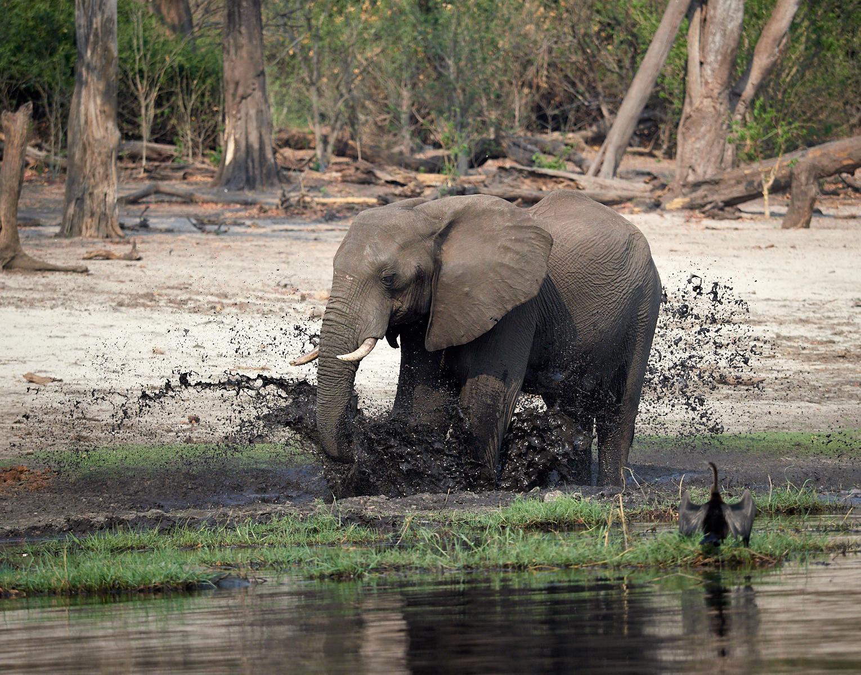 Elephant mudbath with Darter 1600x1200 sRGB.jpg