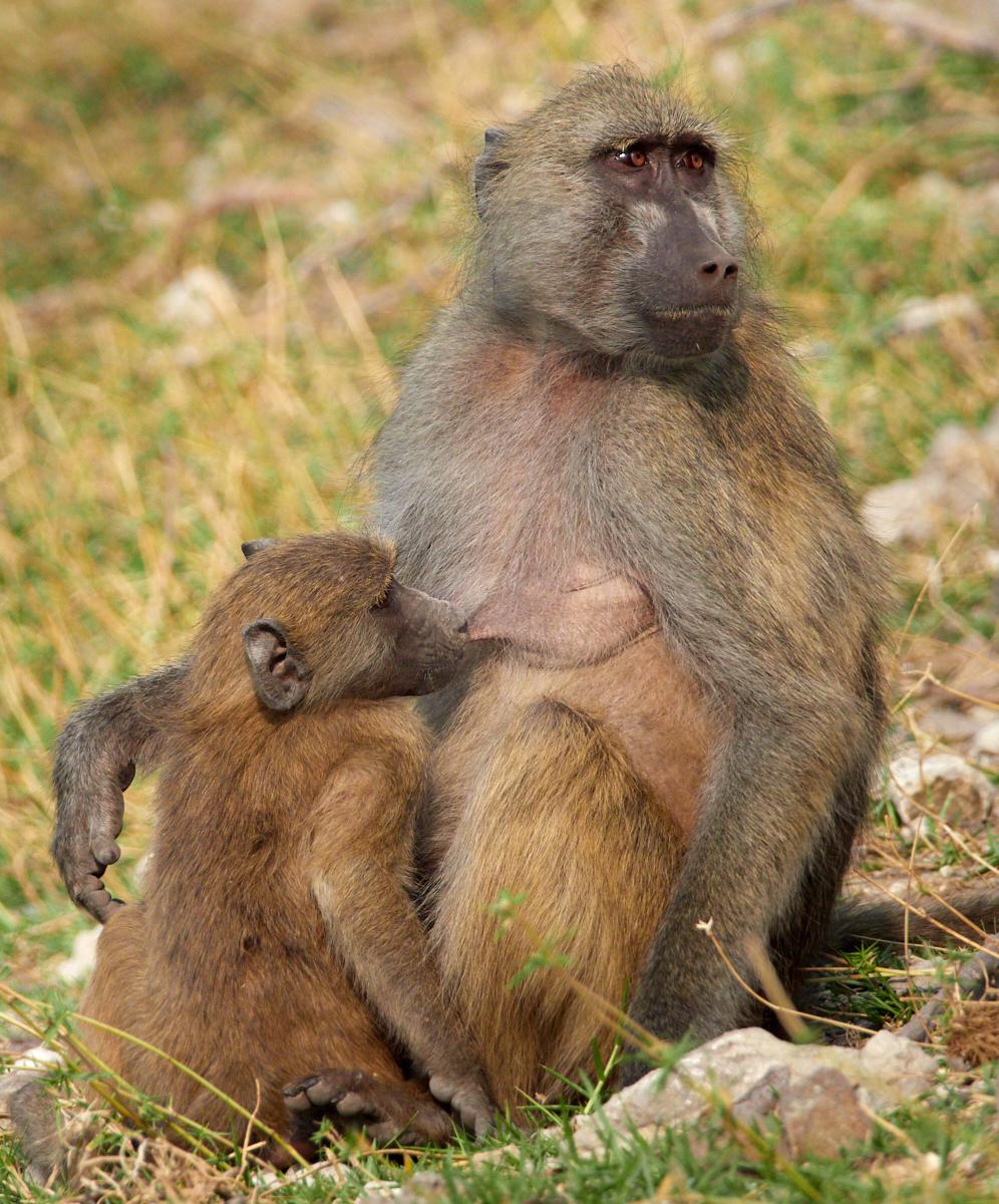 Breastfeeding baboon 1600x1200 sRGB.jpg
