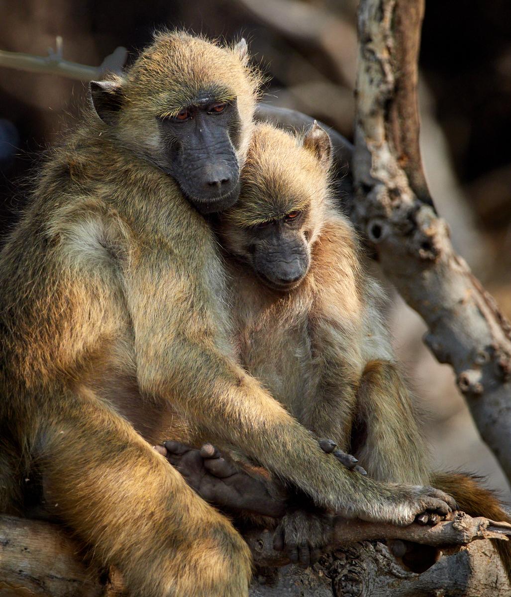 Baboon cuddles 1600x1200 sRGB.jpg