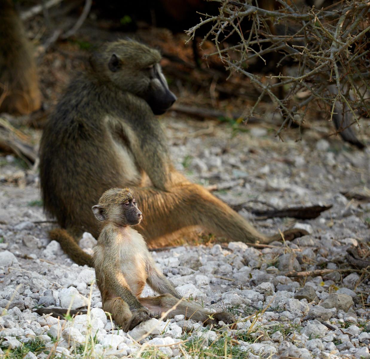 Meditating baby baboon 1600x1200 sRGB.jpg