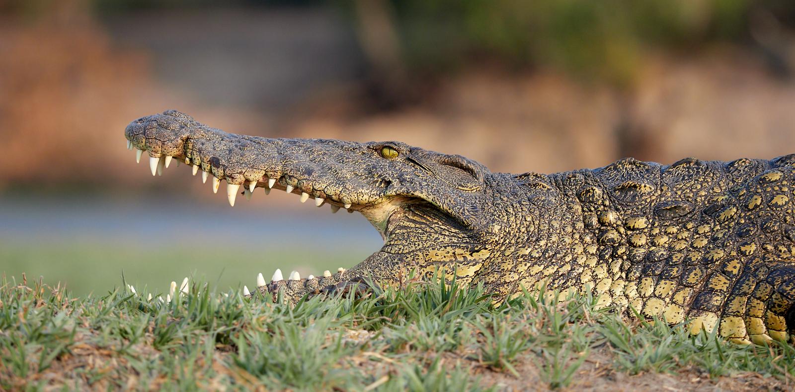 Croc 1600x1200 sRGB.jpg
