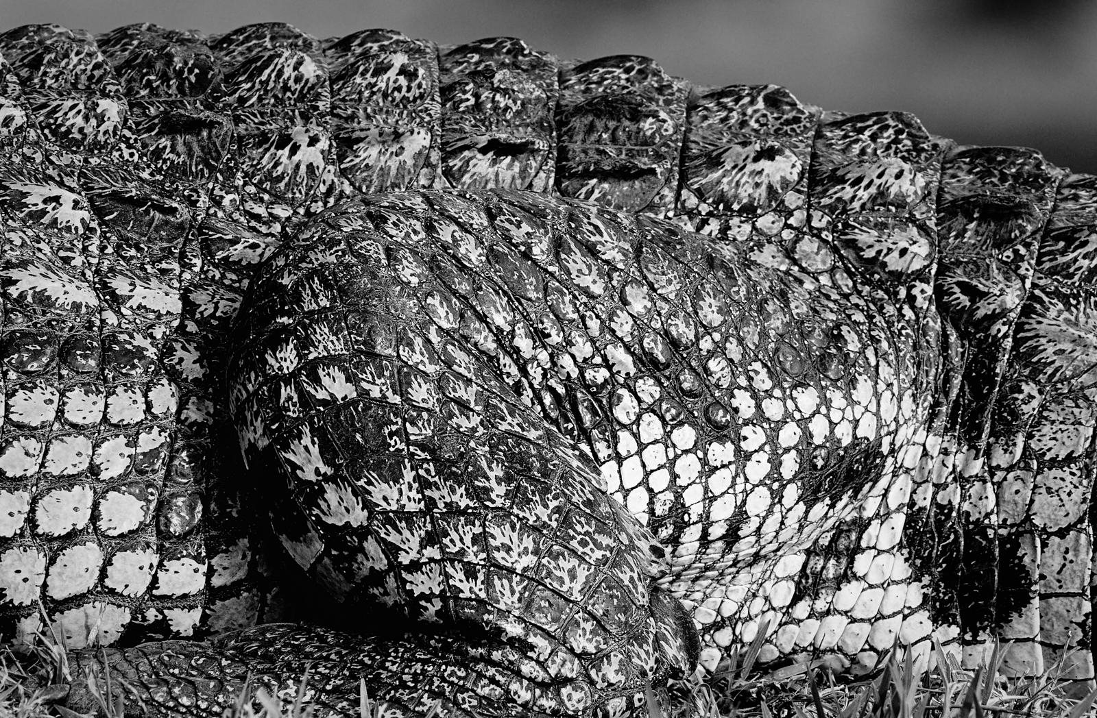 Croc detailed 1600x1200 sRGB.jpg