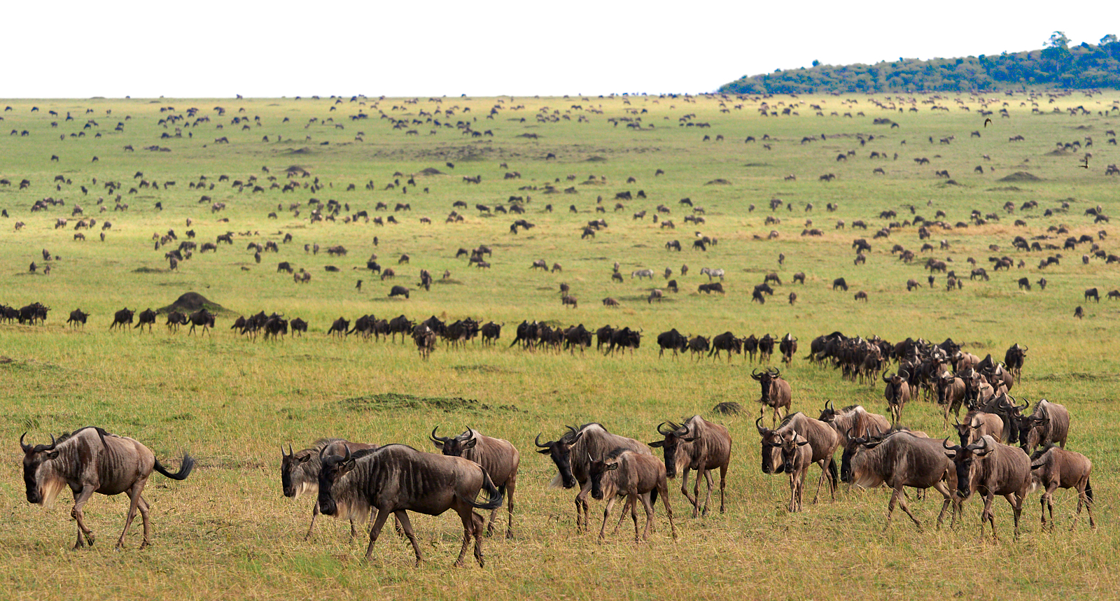 Walking Wildebeest, as far as the eye can see.