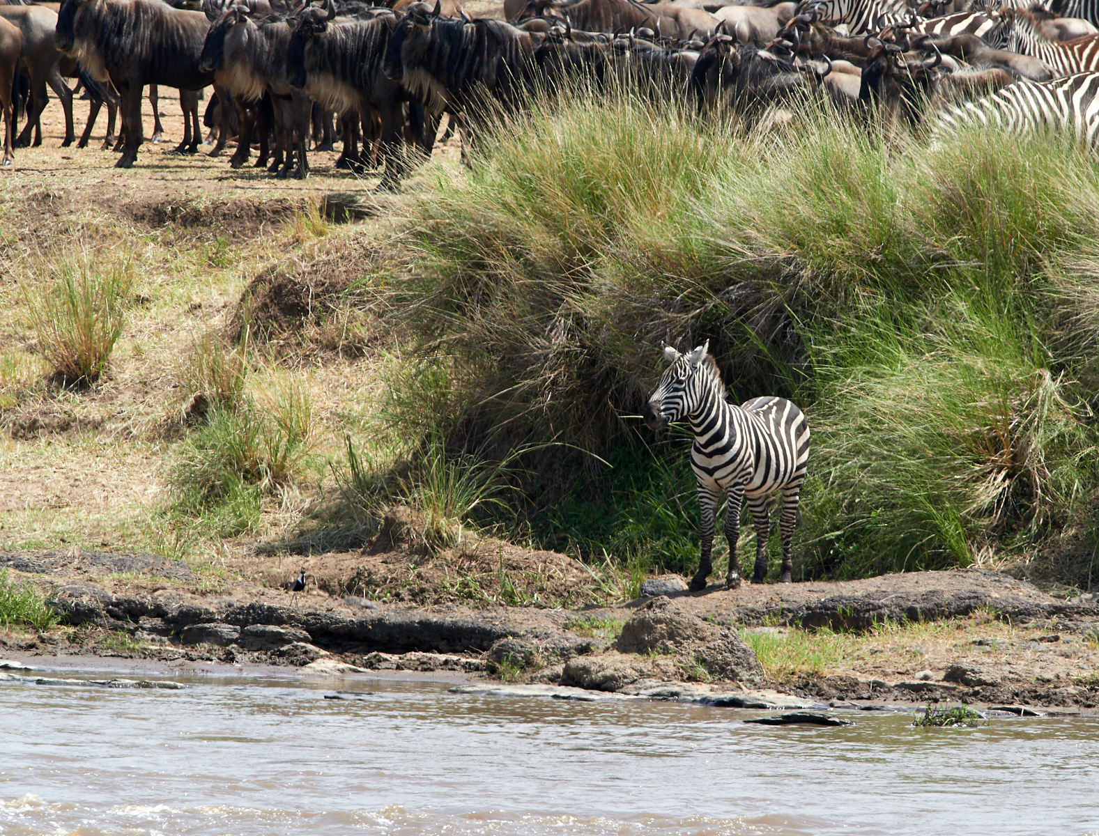 Often it's the spirited and brave Zebra that reconnoitre and initiate a crossing.