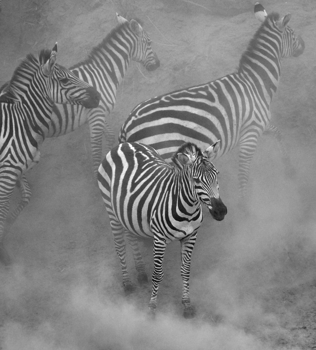 Zebra in the dust mono 1600x1200 sRGB.jpg