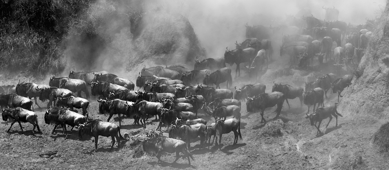 Wildebeest in the dust 1600x1200 sRGB 1.jpg