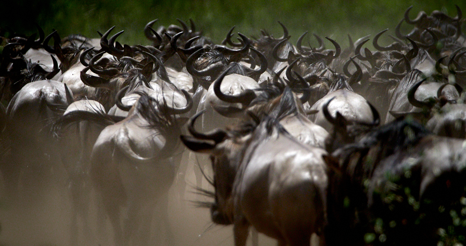Wildebeest after the crossing 1600x1200 sRGB.jpg