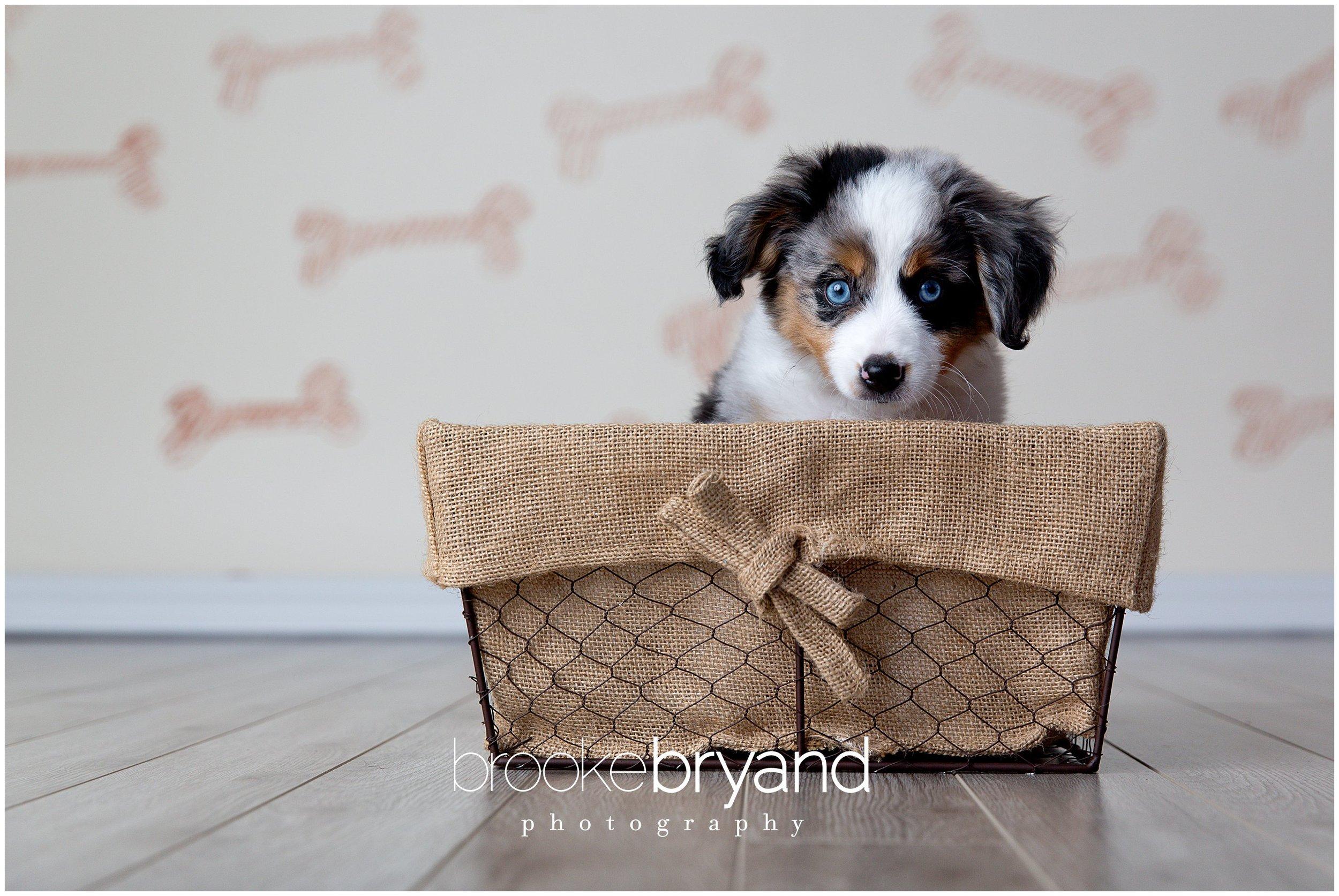 07.2014-Swangler-Puppy-photoshoot-BBP_3222_San-Francisco-Family-Photos-Brooke-Bryand-Photography.jpg
