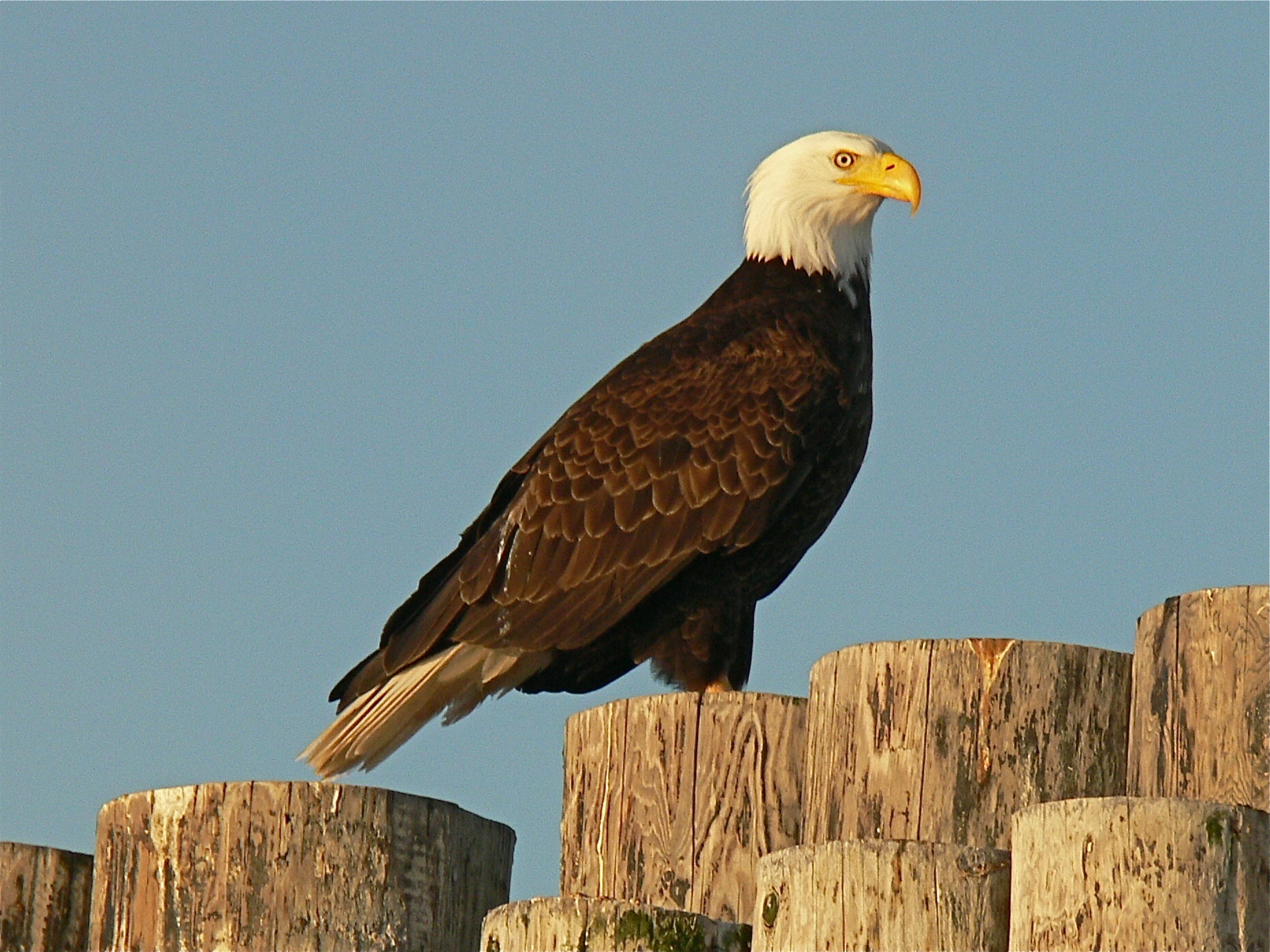 bigstock-Eagle-On-Pilings-4963975.jpg